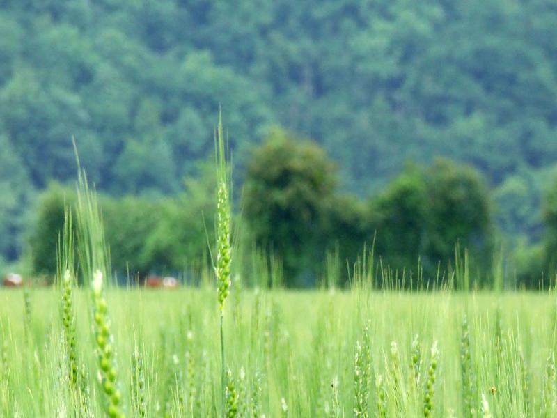 Champs de blé - ©© Calvados Tourisme