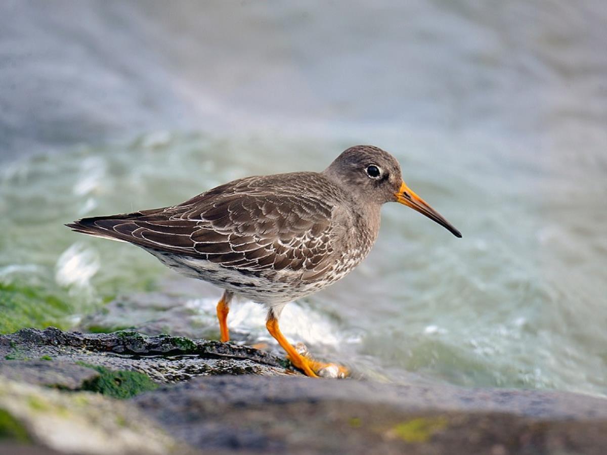 Sortie ornithologique : Les limicoles, qui s'y colle ?